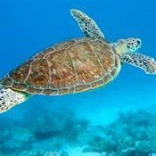 Sea Turtle Inc